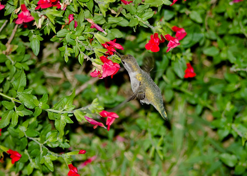 """Anna's Hummingbird • <a style=""""font-size:0.8em;"""" href=""""http://www.flickr.com/photos/59465790@N04/8176196554/"""" target=""""_blank"""">View on Flickr</a>"""