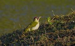 _MG_0104 Green Woodpecker (Picus viridis) Brandon Marsh, Warwickshire 02Nov12 (Lathers) Tags: brandon warwickshire picusviridis greenwoodpecker brandonmarsh canon7d canonef500f4lisusm wkwt
