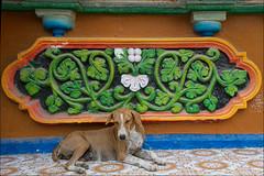 Colori a Diu (livia.com) Tags: india cane colori gujarat portogallo diu