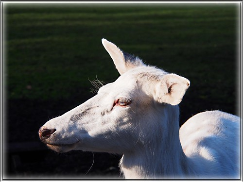 I am a white deer, and live in the Deer Park Eekholt!  I