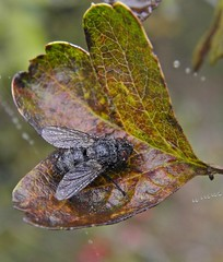A damp fly! (rockwolf) Tags: wet water insect fly droplets leaf shropshire foggy damp hawthorn tachinid parasitic tachinidae venuspool rockwolf
