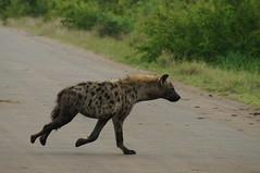 Spotted Hyaena (tim ellis) Tags: holiday animal southafrica krugernationalpark kruger hyaena crocutacrocuta spottedhyaena justcats laughinghyaena satararestcamp