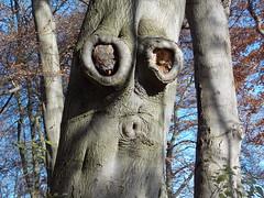 Boo! (Deb Simpkins) Tags: wood tree nature face nikon bedfordshire bark coolpix trunk sharpenhoe clappers l810