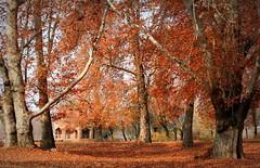 Autumn in Kashmir (Monsoon Lover) Tags: autumn india fall flickr kashmir srinagar autumncolor chinar chinarleaf sudipguharay nishatbag nishatbagisagardencreatedbythefatherinlawofmughalemperorshahjahan nishatbaghwasthecreationofasifkhan thisisaterracedgarden besidedaallake harud kashmirinautumn srinagarinautumn