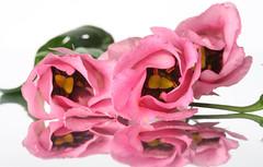 Pink flower (rick ligthelm) Tags: pink flower macro fleur closeup wonderfulworldofflowers hennysgardens bestevercompetitiongroup