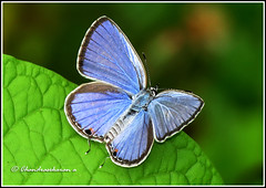2622 -  gram blue (chandrasekaran a 30 lakhs views Thanks to all) Tags: india nature butterfly insects chennai thegalaxy topshots gramblue natureselegantshots theoriginalgoldseal blinkagain magicmomentsinyourlifelevel1 onlythebestofflickr