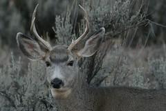 ~ cute camouflage buck ~ (^i^heavensdarkangel2) Tags: nature grey colorado wildlife sony buck durango colorfulcolorado sonydslra200 heavenlycreature desbahallison heavensdarkangel2 ihda~desbahallison camouflagedbuckinnature lessonfromnature youngbuckincamo