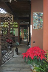 Our waggly-tailed cat is coming to greet you at the Gate (jungle mama) Tags: cat mirror poinsettia frontgate mfcc supershot thegalaxy mirrorcollage livinginajungle blinkagain biscayneparkflorida