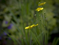 Buttercups (Hans van der Boom) Tags: flower yellow dof wildflower buttercups buitengewoon