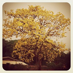 .. (Fernanda Sabô) Tags: camera brazil house tree beautiful yellow brasil square photography photo casa cool nikon do photographer amarelo squareformat mato sul grosso iphone earlybird d5100 iphoneography instagramapp uploaded:by=instagram