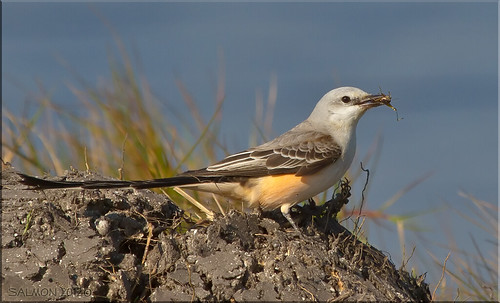 Scissor-tailed Flycatcher with Cricket