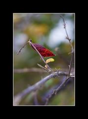 PAPILLON VEGETAL (P@ti16) Tags: france automne rouge feuille 4saisons 50mmcanon