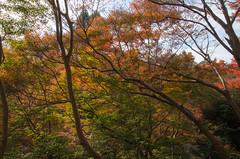 The Red leaves of Kiyomizu-Dera, Kyoto /  (Kaoru Honda) Tags: city autumn nature japan landscape temple japanese nikon kyoto traditional     kansai    japon kiyomizudera  redleaves  kinki higashiyama      d7000