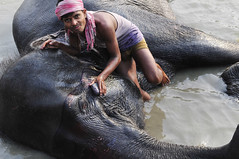 INDIA (BoazImages) Tags: india elephant river asian bath asia indian documentary bathing mela mahut bihar sonepur boazimages gandak