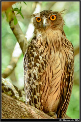 Brown Fish Owl (Harien De Mel) Tags: brown fish bird owl srilanka wilpattu brownfishowl ketupazeylonensis hariendemel