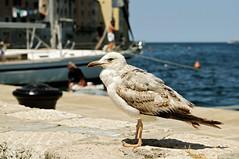 Seagull on a wall in the old city of Rovinj - Istria - Croatia (PascalBo) Tags: bird animal outdoors nikon europe seagull gull croatia rovinj oiseau mouette istria croatie hrvatska d300 istrie pascalboegli
