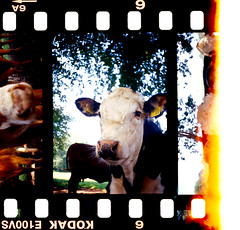 Agat 18K (danielcane) Tags: trees light tree film animal animals rural 35mm nose countryside cow nationalpark cattle cows westsussex kodak ears slide slidefilm 35mmfilm frame ear half epson analogue halfframe leak livestock ektachrome e6 bovine e100vs southdowns agat18k filmstrip sprockets 18k rebate 100iso agat belomo sprocketholes v500 positivefilm vividsaturation belomoagat18k epsonv500 epsonv500scanner exposedsprockets kodake110vs exposedsprocketholes southdownsnationalpark agat18kmultiples grazernose