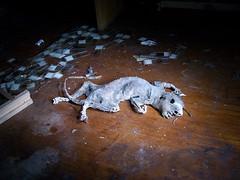 Long deceased (Broomwicks) Tags: uk england abandoned hospital dead death squirrel britain surrey creepy westpark laboratory derelict grotesque morgue mentalhospital deceased mortuary