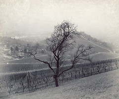 Vineyards in Winter (freyavev) Tags: winter blackandwhite tree germany deutschland vineyard stuttgart rotenberg
