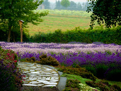 The Rain (1bluecanoe) Tags: flowers color rain garden landscape lavender sequim wa pnw justbecause purplehaze softened purplehazelavenderfarm ortonized 1bluecanoe