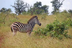 Zebra (Arno Meintjes Wildlife) Tags: africa park camp wallpaper holiday color art nature animal animals closeup southafrica bush wildlife safari explore zebra endangered animalplanet mammalia rsa krugernationalpark mpumalanga krugerpark carnivore birdwatcher excellence big5 naturelovers knp sanparks naturesfinest burchells equusburchelli burchellszebra naturescall flickrsbest meintjes equusquaggaburchellii colorphotoaward arnomeintjes naturewatcher internationalgeographic naturesgreenpeace