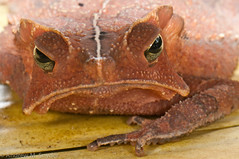 Crested Toad (Andrew Snyder Photography) Tags: nature rainforest wildlife conservation amphibian guyana m research jungle toad tropics snyder biodiversity iwokrama operationwallacea opwall crestedtoad rhinella martyi rhinellamargaritifer asnyder5 andrewmsnyder rhinellamartyi operationwallacearesearchconservationbiodiversitynaturewildliferainforestjunglesouth americaandrew