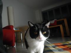 Tiger im Unterholz (Ottmar H.) Tags: cat chat gato katze macska  kater  tomcat