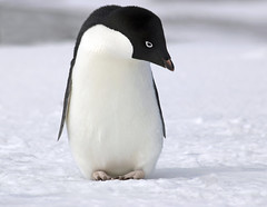 Pinguim (Grfica Mundo) Tags: blackandwhite snow cold cute bird ice look penguin frozen bill funny frost wildlife wing beak feather posing antarctica freeze environment melt lovely seeking climatechange humble southpole globalwarming bending plumage icecold extermination eradication adelie adeliepenguin pygoscelisadeliae