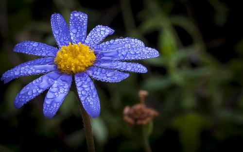 backyard darkness jose sanjose bluedaisy feliciaamelloides