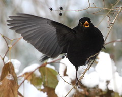 Yoo-Hoo, I'm Here!! (Ger Bosma) Tags: winter male wings funny wing kos 106 waving turdusmerula blackbird merlo merel amsel eurasianblackbird melro commonblackbird solsort koltrast merlenoir mirlocomn  falpping  mygearandme mygearandmepremium mygearandmebronze mygearandmesilver mygearandmegold mygearandmeplatinum rememberthatmomentlevel1 rememberthatmomentlevel2 birdofsong img69668filtered