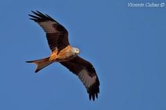 MILANO REAL  (Milvus milvus) (Vicente Cubas) Tags: thewonderfulworldofbirds freedomtosoarlevel1birdphotosonly freedomtosoarlevel1birdsonly