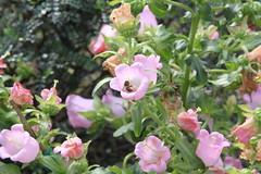 IMG_0712 (sclereid0309) Tags: bee honey  honeybee  pollination