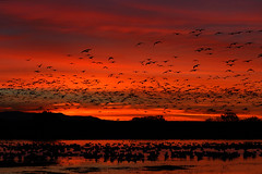 Snow Geese at Dawn (gainesp2003) Tags: newmexico bird sunrise dawn geese wildlife birding nm waterfowl bosquedelapache nationalwildliferefuge snowgeese