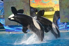 (Megakillerwhales) Tags: dolphin dolphins whale whales orca corky seaworld orkid killerwhale orcas killerwhales nakai seaworldsandiego keet shouka kalia orcawhales cetaceans cetacean ulises ikaika orcawhale corky2 kasatka nalanidreamer megakillerwhales