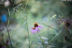 30072016_Echinacea purpurea (Chicaco11) Tags: chicaco11 nikkor 50nn nikon d750 komazawa park setagaya tokyo japan      flower plant bloom pink