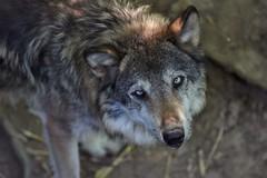 what do you want (rondoudou87) Tags: wolf loup parc reynou nature wildlife wild pentax k1 aficionados zoo portrait face yeux eyes regard
