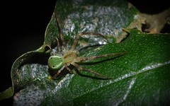 Sidymella aff. rubrosignata (dustaway) Tags: arthropoda arachnida araneae araneomorphae thomisidae thomisinae sidymellarubrosignata rotarypark rainforest lismore northernrivers nsw nature australianspiders