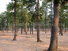 Sonajhuri forest (Weekend Destinations) Tags: khoai shantiniketan sonajhuri santiniketan bolpur