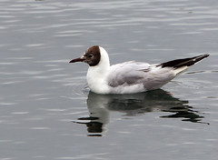 Black - headed Gull (4) (grahamh1651) Tags: newlyn newlynharbour tolcarne birds seabirds gulls swans waders shorebirds