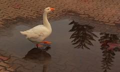 Reflection (Rajavelu1) Tags: bird water street reflection art artland creative canon60d travel toor kerala allapuzha india internationalphotographer streetphotography simplysuperb