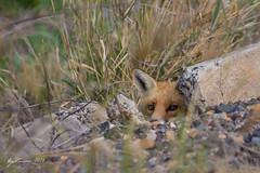European Fox (R. Francis) Tags: redfox europeanfox vulpesvulpes fox darlingdowns ryanfrancis ryanfrancisphotography qld queensland southeastqueensland