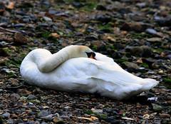 Mute Swan & 3 Cygnets (4) (grahamh1651) Tags: newlyn newlynharbour tolcarne birds seabirds gulls swans waders shorebirds