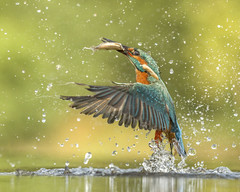 The Dance (2) (pixellesley) Tags: kingfisher fishing diving feeding fish prey bird mammal animal wild wildlife marshes water portrait lesleygooding hide alcedoatthis flying action summer brood