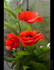Roselles (PCB75) Tags: roselles rosella amapola ramet flors maig bonic alegre pomet pom