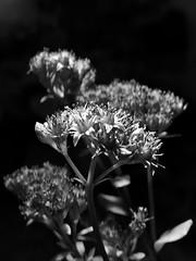 Details (Nicolas) Tags: flower fleur nicolasthomas ecquevilly yvelines france nature nb bw noiretblanc blackandwhite flash strobe light lumire shadow ombre