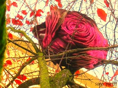 cushion in a tree captured (Sonja Parfitt) Tags: westend upatree fabric rose pink tree leaves building