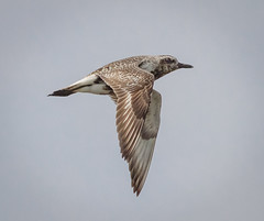 Black Bellied Plover (tresed47) Tags: 2016 201608aug 20160829bombayhookmisc birds blackbelliedplover bombayhook canon7d content delaware folder peterscamera petersphotos places plover takenby us waders ngc npc