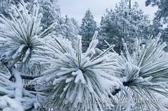 Snowy Pines (jamesdelbertanderson) Tags: kamiakbutte whitmancounty palouse winter snow easternwashington inlandnorthwest ponderosapine pinusponderosa kamiakbuttecountypark nature washington pnw
