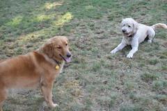 DSC_0329 (ghoulia) Tags: goldendoodle goldenretriever poodle labradoodle labrador rovercom dogvacay