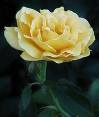 Yellow Rose (Cher12861) Tags: yellowrose bloom flower blossom cantignygardens rosegarden wheatonillinois closeup joy gladness friendship delight promiseofanewbeginning welcomeback rememberme jealousy icare